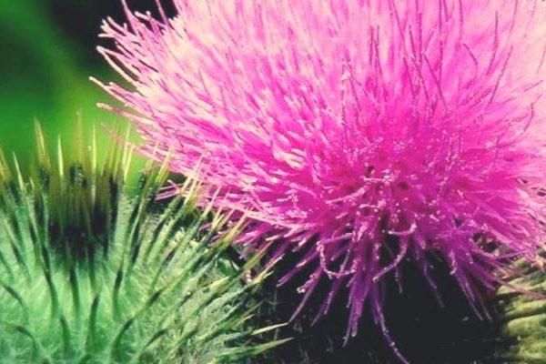 Γαϊδουράγκαθο, ένα θαυματουργό φυτό