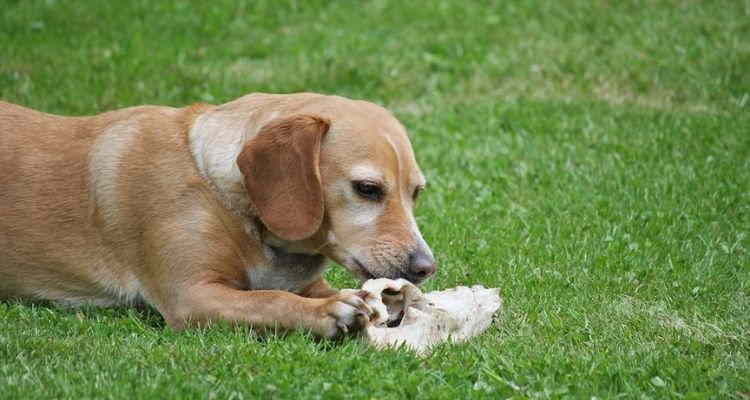 Γιατί ο σκύλος μου δεν κάνει να τρώει κόκαλα;