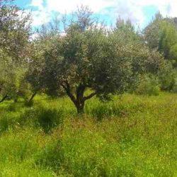 Pure virgin olive oil Αγγελάκι, ανακαλύπτοντας τα μυστικά του ελαιόλαδου (Συνέντευξη)